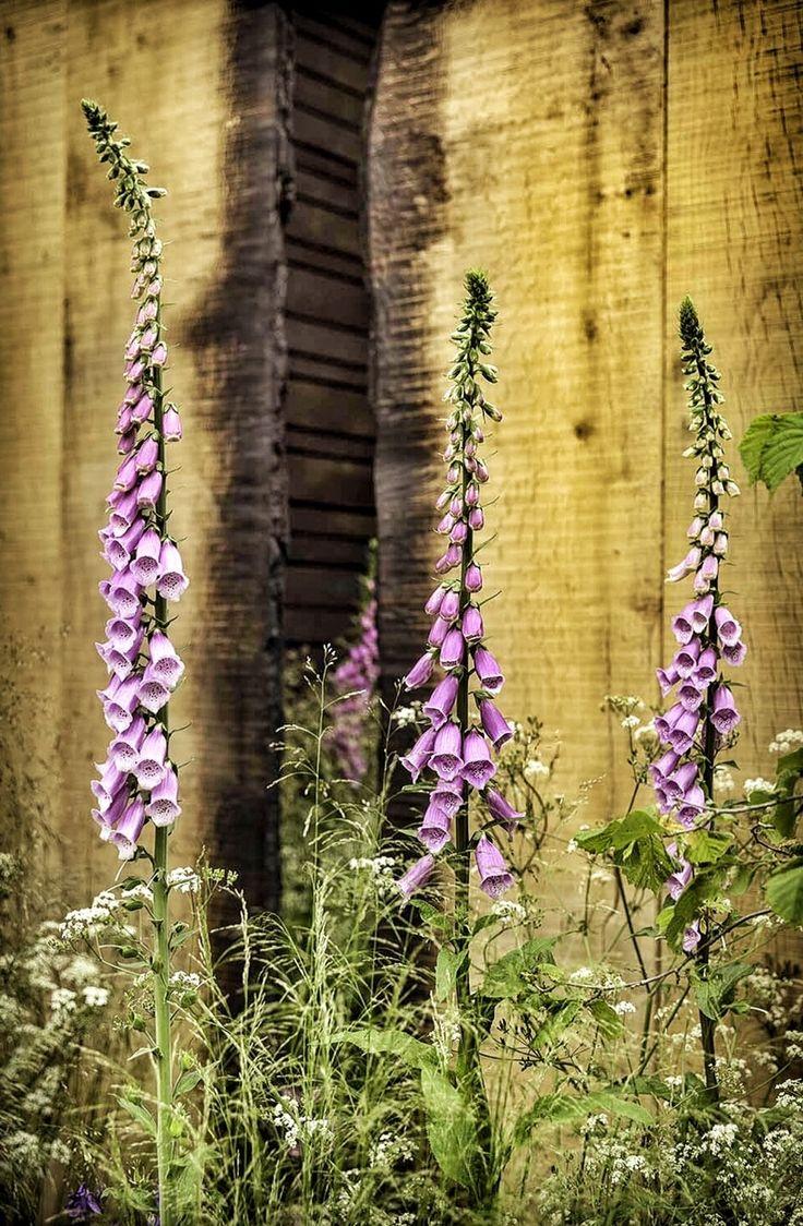 best ideas about Bartfaden on Pinterest Blumenbeete blauer