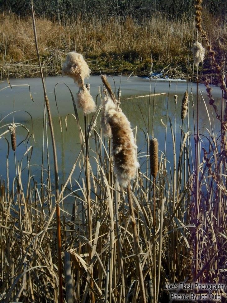 Cat tails on this frozen man made pond at Potters Creek Conservation