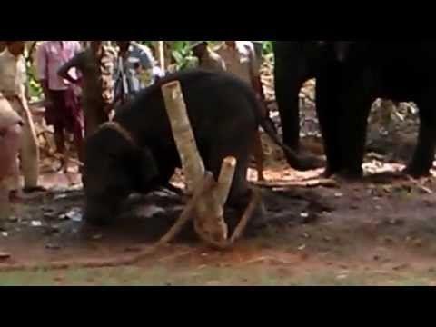 In ultima vreme calatoriile in Asia au devenit mai accesibile si atractiile turistice de acolo mult mai populare. Una din acestea este plimbarea pe elefant. Lucru pe care eu l-am refuzat cand am fost in Tailanda pentru ca nu am vrut sa sustin ceva care chinuie animalele. De ce zic asta? Am expus toate motivele pe blog, plus un video despre cum se face dresajul de elefanti pentru ca noi sa putem calatori pe ei: http://www.korydeea.com/2017/05/plimbarea-pe-elefanti/