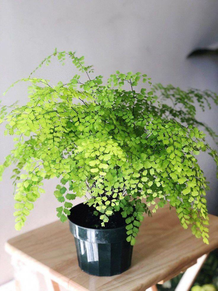 Helecho adiantum bathroomplants in 2020 Plants