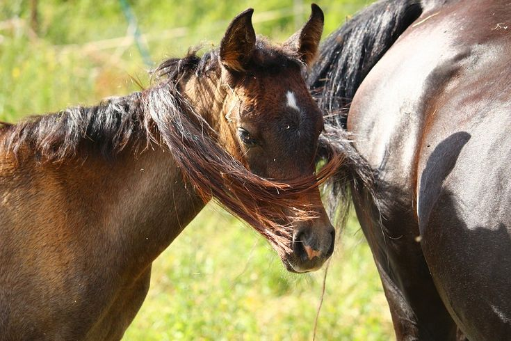 Pferd, Fohlen, Vollblutaraber, Braunschimmel, Mähne