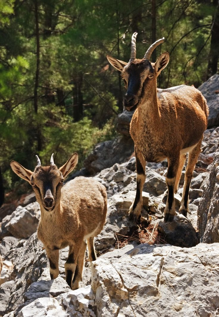 Wild kri-kri goats in the Samaria Gorge