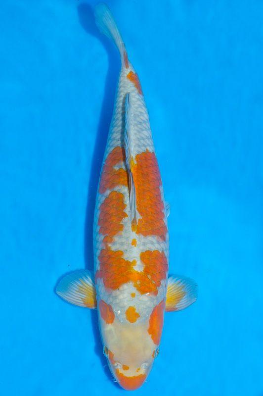Ochiba ochiba mustard patern on gray body pinterest for Ochiba koi fish