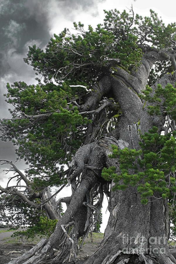 Bristlecone Pine Tree On The Rim Of Crater Lake - Oregon