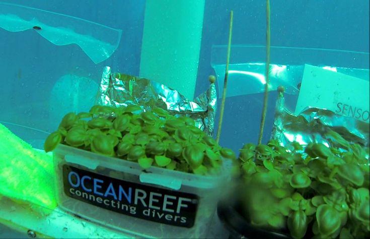 L'orto sottomarino di Noli, in Liguria Orti di nemo basilico e insalata Brevettato dall'italiana Ocean Reef Group, consente di coltivare basilico e lattuga