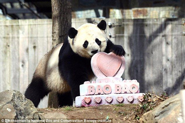 So sad to see you gao! On her last day in the US, Bao Bao was presented with a pink and white ice heart cake