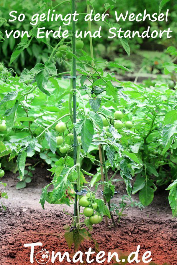 Standort Erdwechsel Bei Tomaten So Wird Es Gemacht Tomaten Pflanzen Tomatenanbau Pflanzen