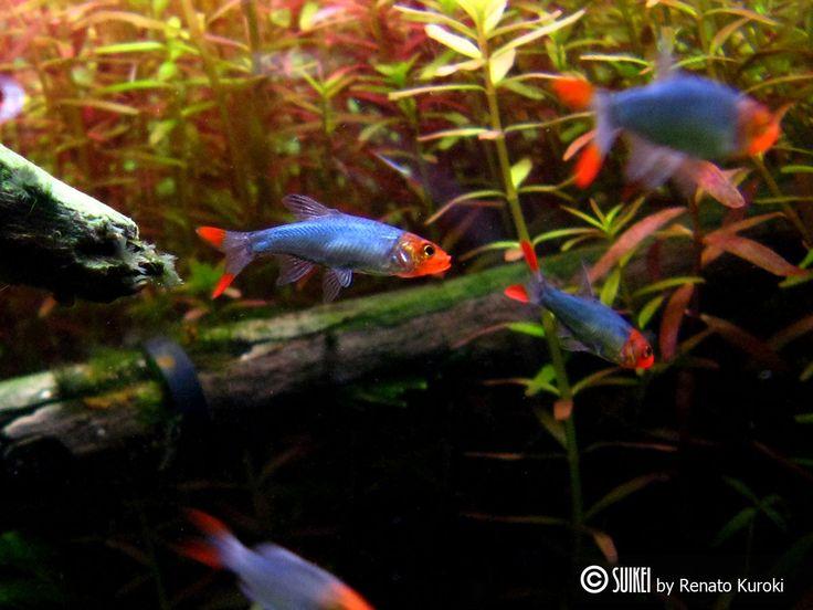 Rummynose Rasboras Freshwater Pinterest Neon