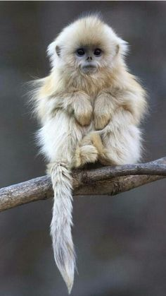 Golden Snub Nosed Monkey. #endangered #animals