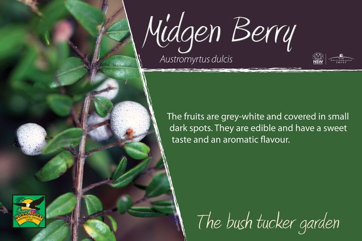 Bush tucker sign, midgen-berry