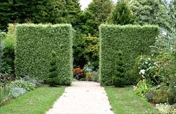 Pittosporum Silver Sheen.  Silvery green foliage. Tall hedge, privacy screen, wind break.