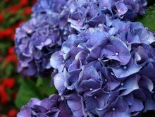 Hydrangeas are fairly easy to root. Some people have rooted them in water, but many others (such as myself) have never been able to make this work.