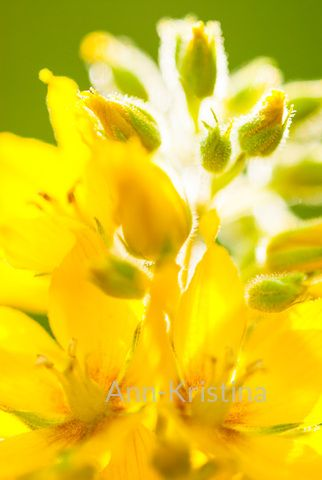 Ann-Kristina Al-Zalimi, Lysimachia punctata, tarha-alpi, alpi, praktlysing, spotted loosestrife, garden, flora, puutarha, kasvi, perenna