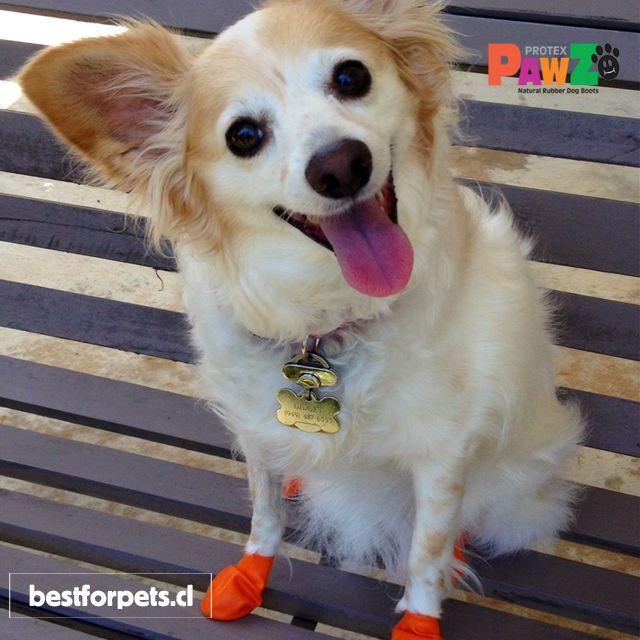 Pawz Dog Boots son muy confortables para  ellos! Al no tener ningun tipo de goma o acolchado en su parte inferior, los perritos sienten el piso de forma natural! Fáciles de poner, sin velcros ni cremalleras! Impermeables y reutilizables