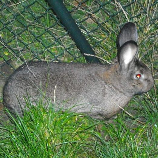 King of Spades #Hase #Kaninchen #кроль #whiterabbit #兔子 #králík #kanin #jänis #lapin #κουνέλι #kelinci #conejo #ウサギ #兎 #うさぎ #doadopcji #nofilter #króliczek #krolik #l4l #like4like #likeforlike #rabbit #rabbits #bunny #bunnies #rescue  Did you know? Baguette is going to be adopted in February  Keep your fingers crossed for more adoptions. Visit our facebook page