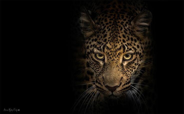 Leopard - Eyes in the Dark - Copyrighted - bruna@thrumyafricanlens.co.za