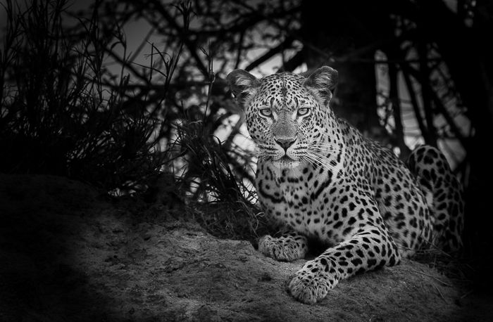 The Mashaba Female scans the veld for impala lambs. Photograph by Trevor Ryan McCall-Peat