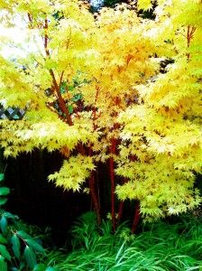 """Adds color to your garden all year long. Coral Bark Maple (Acer palmatum """"Sango Kaku""""). This Japanese maple is a small tree that is prized for its bark that turns coral pink in cold weather."""