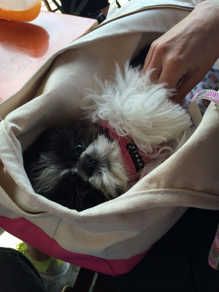Toy shih tzu Lola
