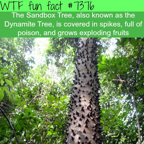 "mojave-wasteland-official:  "" the-giants-smile:  "" mojave-wasteland-official:  "" wtf-fun-factss:  ""The Sandbox Tree - WTF fun facts  ""  Challenge Accepted  ""  Make candy out of the fruits  ""  Thats the plan  """