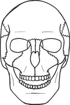 Human Skull Frontal View