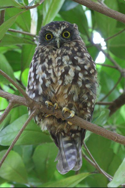 Morepork New Zealand Owl