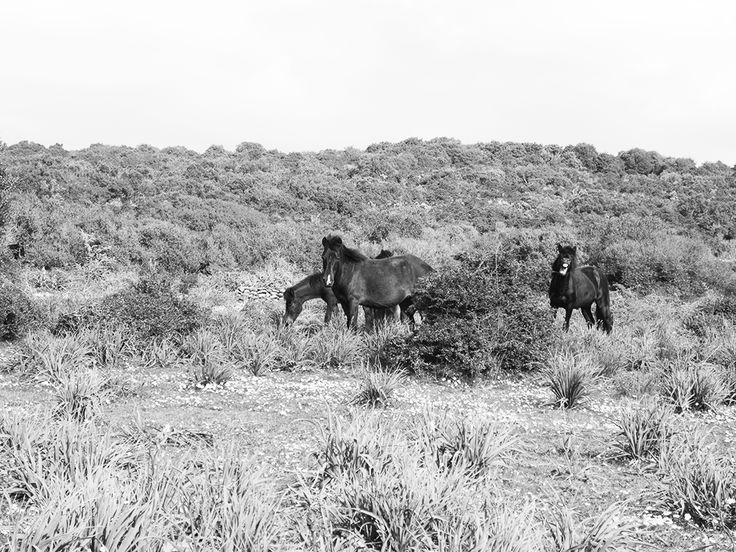 Un piccolo branco di cavallini sulla Giara.