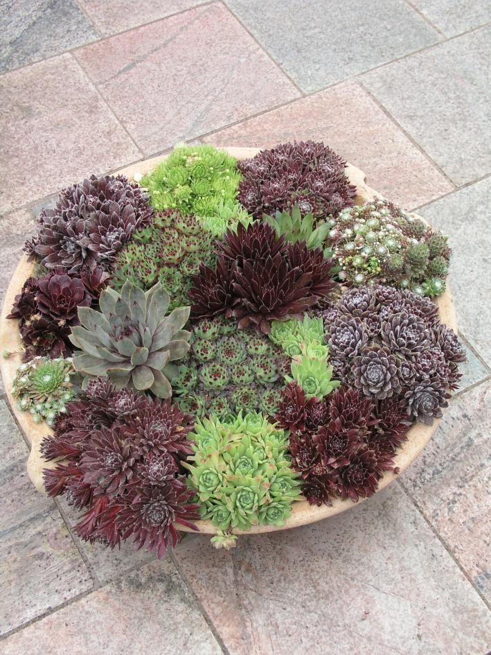 Die besten 25+ Hauswurz Ideen auf Pinterest Terrarium pflanzen - pflanzgefase im garten ideen gestaltung
