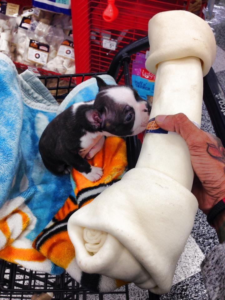 Little Boston Terrier Puppy Interested by the Biggest Bone! ► http://www.bterrier.com/?p=21893 - https://www.facebook.com/bterrierdogs