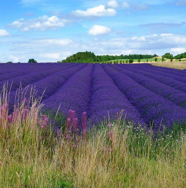 936 best lavanda ...intotdeauna images on Pinterest   Lavender, At ...