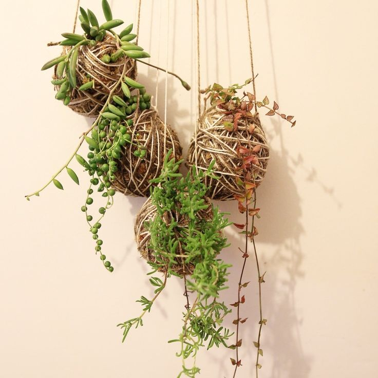 Image of The Elusive Three Kokedama Nest [Big] String of pearls Chain of hearts The Birds Nest Co. Perth