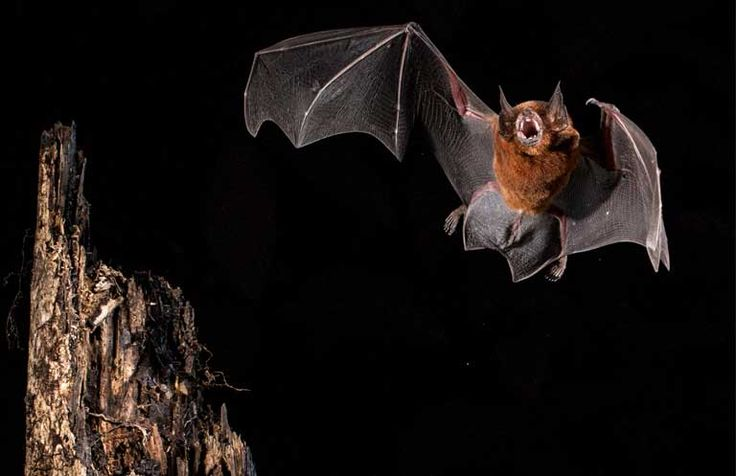 A Black Mastiff bat (Molossus rufus), a species known to roost in colonies of more than 500 individuals. The new Field Guide to Amazonian Bats is worth a look, if only to see the spectacular photos. Photo © Oriol Massana & Adrià López-Baucells