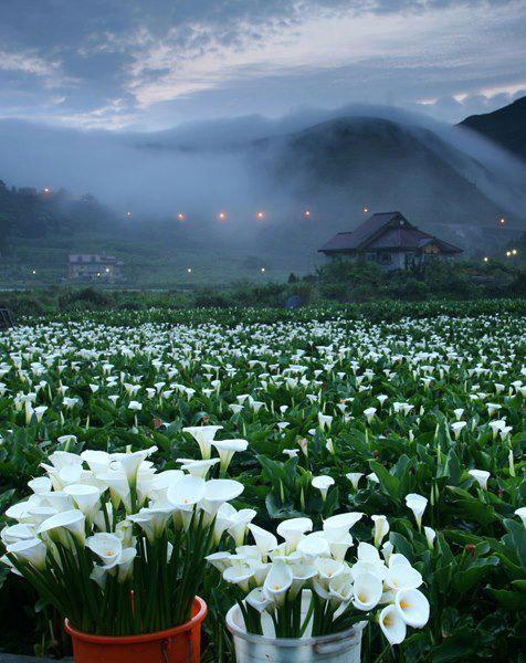 Calla Lilies - my favorite flower ~ via FB Photo Life Photo taken at Yangmingshan National Park,Taiwan