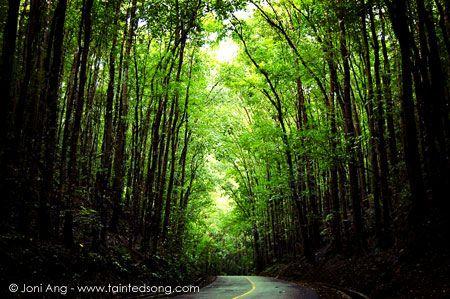 Man-made forest, Bohol