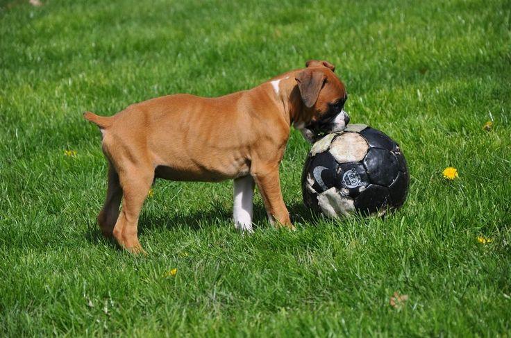 Собака боксер (фото): море доброты под грозной внешностью