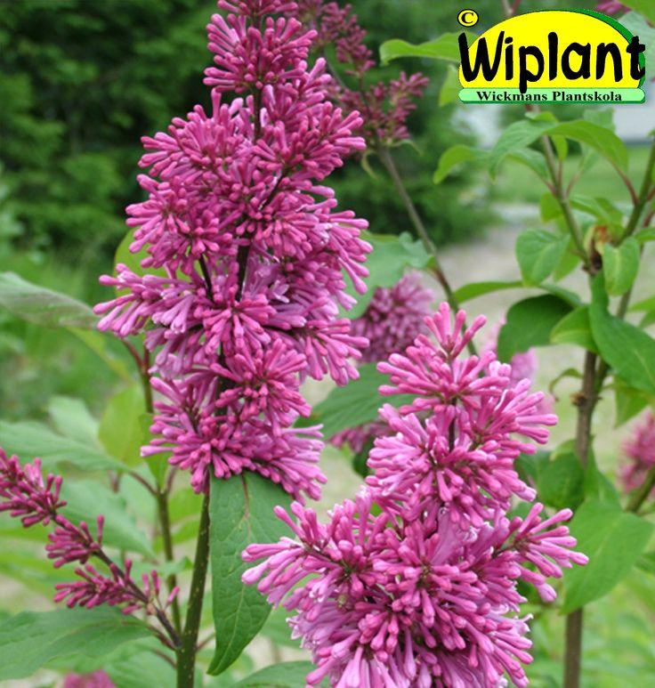 Syringa 'Ellinor', prestonsyren. Finns både som buske och stamsyren. Lilarosa blommor, jämn blomning. Höjd: 2-3 m.