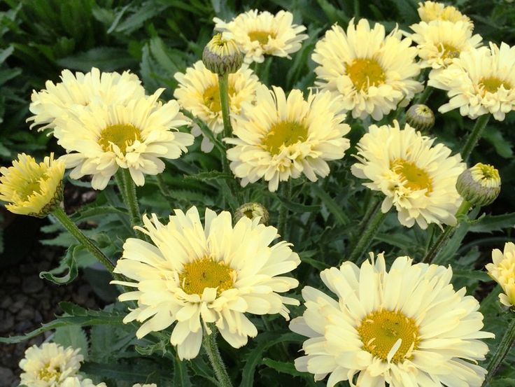 17 best images about shasta daisys on pinterest gardens for Dream plants for the natural garden