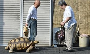 <strong>Tokyo, Japan</strong><br>Bon-chan, a 19-year-old male African spurred tortoise goes for a walk with its owner Hisao Mitani. Apparently, Bon-chan loves fruit and vegetables and is often offered carrot and cabbage pieces by cheering neighbours when he is out.