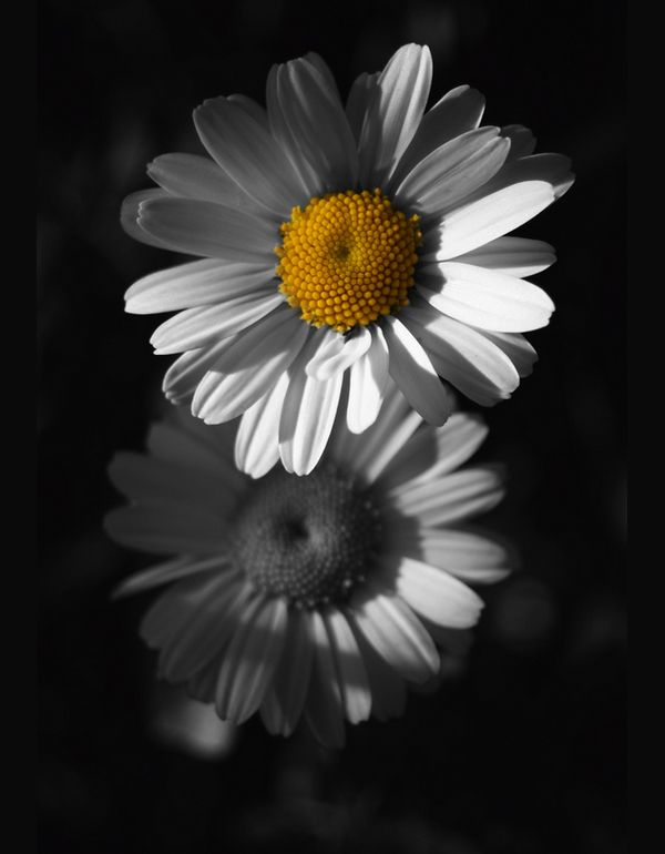6-flowers-black-white-yellow-from-dark Color Splash by Azra Ferhatovic