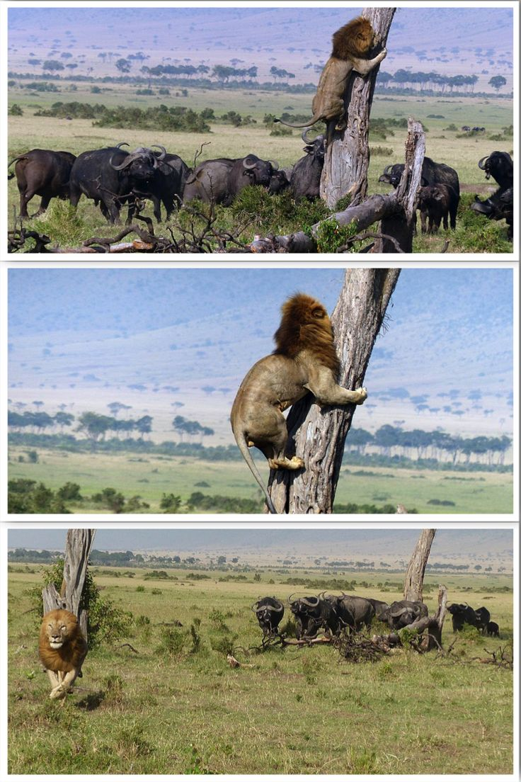 Scaredy cat! Lion climbs tree to escape herd of buffalo in