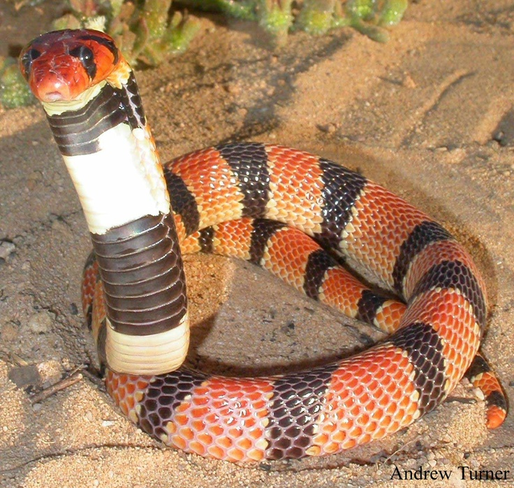207 Best Images About Poisonous Snakes On Pinterest