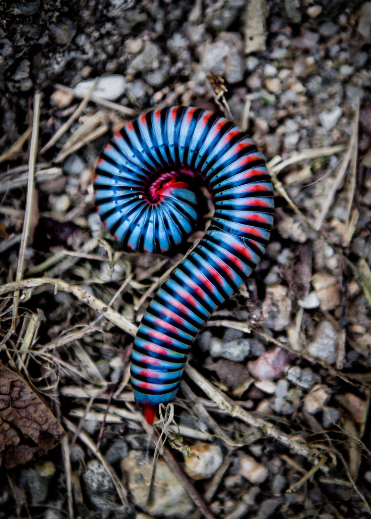 Millipede - harmless eater of decaying plant matter, part of the soil ecology that returns dead plants and leaves to organic matter that can be used (taken up) again.