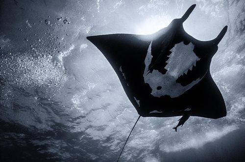 "I surrender by Chris Huxley  Ray Manta, Socorro Islands off Mexico. ""These gentle rays have come to love the feel of bubbles on their bellies as they fly over divers."""