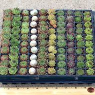 Sempervivum (Hens and Chicks) Mini Plug Tray - Select Varieties (100)