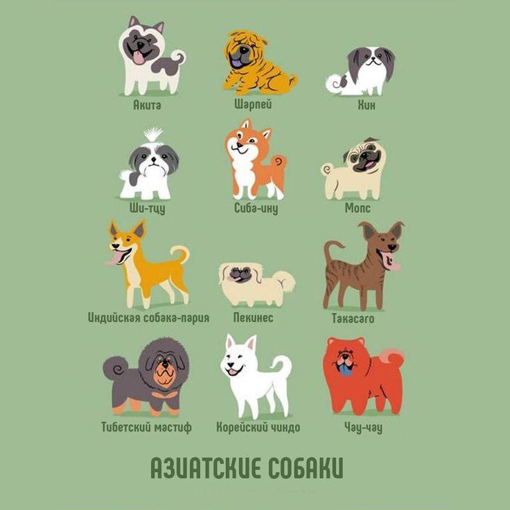 Азиатские породы собак.  Возможно, Азия не отличается таким разнообразие собачьих пород как непостоянная Европа, но азиаты, веками совершенствовавшие рабочие качества и внешний вид своих питомцев, могут гордиться преданностью акита-ину, красотой тибетского мастифа, умом пекинеса и другими прекрасными качествами их собак.  #караганда #krg #одеждадляживотных #одеждадлясобак  #животные #одеждадлясобаккараганда #товарыдлясобак #dog #собака #мило