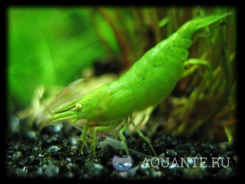 Зеленая креветка бабаулти