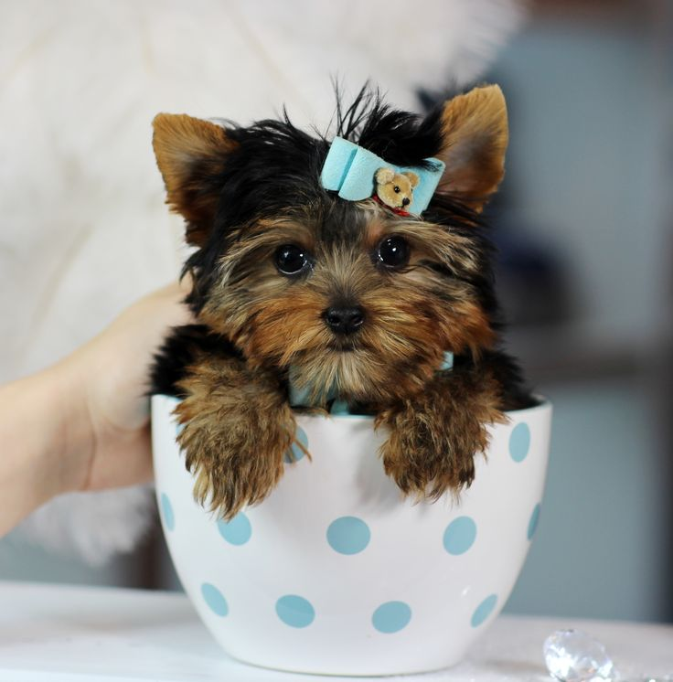 Pictures of Baby Yorkshire Terrier Teacup - #rock-cafe