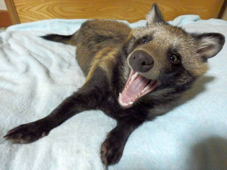 Raccoon Dogs are real!