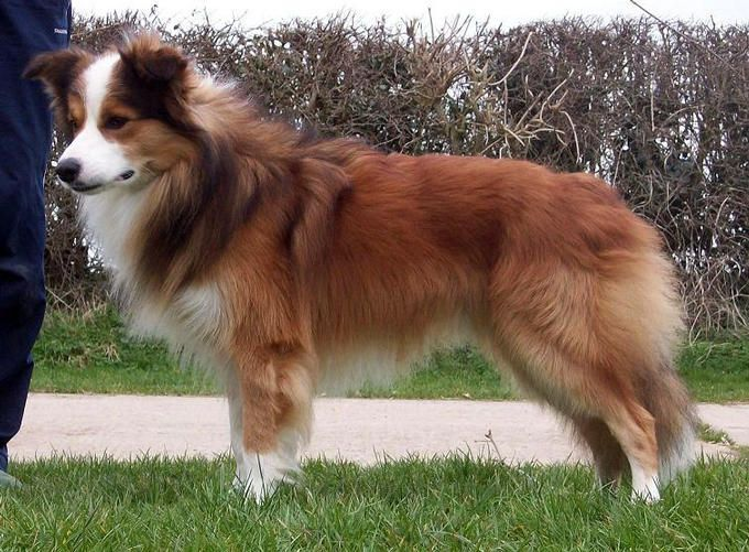 Sable/White Border Collie | A good article about Border Collie colors and hereditary.