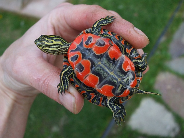wee painted turtle! by knitting iris, via Flickr